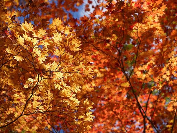 万座温泉周辺の紅葉カレンダー